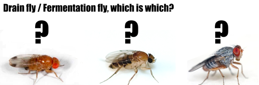 Drain Flies - Garrards